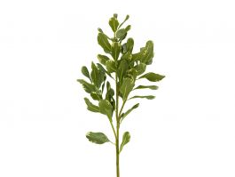 Pittosporum Leaves